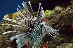 Lionfish (presbi) Tags: aquarium lionfish acquario tropicalfish pescitropicali mygearandme mygearandmepremium mygearandmebronze mygearandmesilver infinitexposure