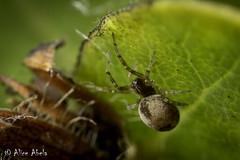 Tiny Spider (Family: Dictynidae) (aliceinwl1) Tags: arachnid arachnida araneae araneomorphae arthropod arthropoda burtonmesaecologicalreserve ca california dictynidae entelegynes lompoc meshwebweaver santabarbaracounty locpublic spider truespider viseveryone