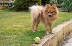 Boo the Pomeranian. . . (CWhatPhotos) Tags: pictures camera dog pet black green grass animal tongue digital pen ball garden that lens four photo pom sitting foto view image photos sandy picture down olympus images boo have tennis fotos penn greenery colored kit inthe pomeranian olympuspen coloured which zuiko contain thirds esystem zwergspitz thelittledoglaughed 1442mm mzuiko cwhatphotos epl5 dwarfspitz elp5