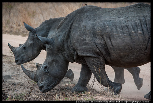Rhino mom and calf