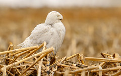 Snowy Owl (snooker2009) Tags: winter snow fall nature animal outdoors spring snowy wildlife raptor owl getty migration d800 thewonderfulworldofbirds photocontesttnc12 dailynaturetnc13