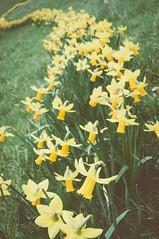 DSC_0028 - Band of gold (SWJuk) Tags: uk england home yellow gold spring nikon band lancashire faded daffodils burnley daffs 2014 d90 nikond90 swjuk mar2014