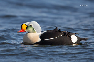 King Eider Duck - Drake