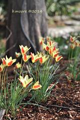 hello sunshine (moorepix4u2c) Tags: flowers flower spring arboretum tulip bloom blooms yellowandred dallasblooms clauianasheila