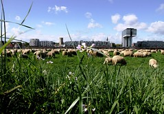 Sheeps and the city. Expanded view. (Cristian tefnescu) Tags: deutschland cityscape sheep cologne kln oi rheinufer schaf oaie