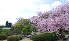 二条城の桜 Sakura at Nijyo Castle (ELCAN KE-7A) Tags: japan cherry kyoto pentax blossom 京都 桜 日本 castel 二条城 2014 nijyo ペンタックス k5ⅱs