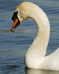 Swan - Chester (eddutton21) Tags: bird water beautiful river swan royal fluffy waterbird queen tagged chester droplet splash whiteswan royalswan riverbird riverd flickrandroidapp:filter=none