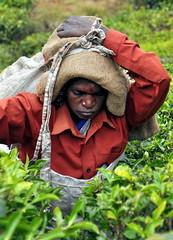 India - Kerala - Munnar - Tea Harvest - 150b (asienman) Tags: india mountains kerala hills teafactory teaplantation munnar teapicker asienmanphotography teaplantagens