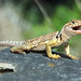 Eastern Collared Lizard, Female