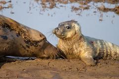 Little pup with mum (Liz Liz Liz Liz) Tags: pup seal greyseal donnanook seaside sea beach sand canon7d eos7d efs55250mmf456isstm water baby newborn cute