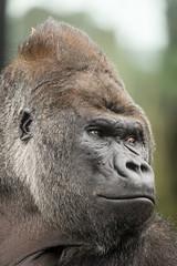 2017-03-04-10h56m11.BL7R9303 (A.J. Haverkamp) Tags: akili canonef100400mmf4556lisiiusmlens amsterdam noordholland netherlands zoo dierentuin httpwwwartisnl artis thenetherlands gorilla pobfrankfurtgermany dob16101994 nl