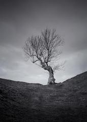 Gnarled (Glenn D Reay) Tags: tree gnarled twisted monochrome alone pentaxart pentax k30 sigma1770hsm glennreay
