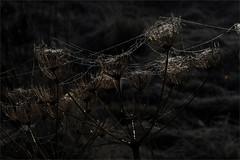 . (me*voilà) Tags: forest spiderweb sparkle winter onblack