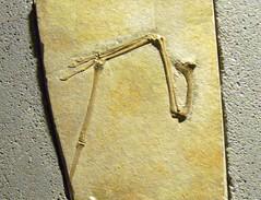 Rhamphorhynchus gemmingi P1040779 (martinfritzlar) Tags: senckenberg senckenbergnaturmuseum museum frankfurt fossil flügel tier reptil flugsaurier pterosauria rhamphorhynchidae rhamphorhynchus rhamphorhynchusgemmingi wing reptile pterosaur