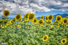 Sunflowers under the clouds II (CyberDEL1) Tags: macedonian macedoniatimeless macedonia macedoniagreece greece hellas μακεδονία ελλάδα sunflower samsungnx1 samsungnx1650228s makedonia timeless μακεδονια