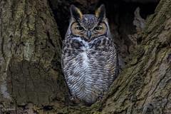 Great Horned Owl (shimmer5641) Tags: bubovirginianus greathornedowl greathornedowlmale raptor tigerowl hootowl birdofprey birdsofbritishcolumbia birdsofnorthamerica grandducdamérique