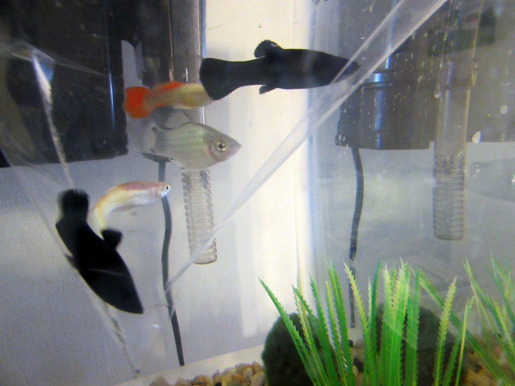 The World S Most Recently Posted Photos Of Aquarium And Molly