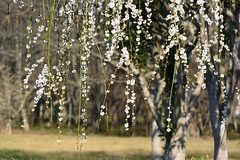 shidareume_17228b (takao-bw) Tags: 白梅 梅 枝垂れ梅 ウメ japaneseapricot spring plant woodyplant 木本 植物 japan