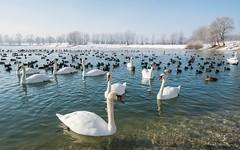 lake Zajarki (096) (Vlado Ferenčić) Tags: lakes lakezajarki winter swans swansfamily zajarki zaprešić croatia birds animals nikond600 nikkor173528 animalplanet vladoferencic