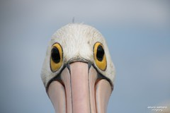 Pelicans at The Entrance (Anura in Canberra) Tags: nsw theentrance pelican bird sea