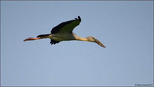 Asain Openbill (Anastomus oscitans) - in flight