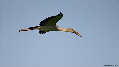 Asain Openbill (Anastomus oscitans) - in flight