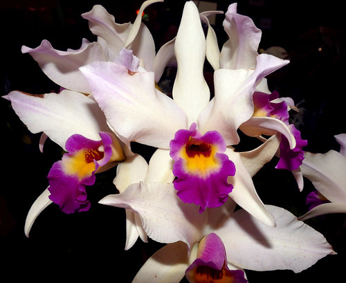 photographed at the 2017 pacific orchid & garden exposition, Laelia anceps  x Laeliocattleya Tokyo Magic 'Moonbeam' hybrid orchid