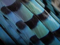 Cyanocitta cristata (Blue Jay) (A Botanical Wonderland (Million+ views)) Tags: cyanocitta cristata blue jay north american bird florida macro