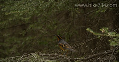 """Varied Thrush • <a style=""""font-size:0.8em;"""" href=""""http://www.flickr.com/photos/63501323@N07/8758259168/"""" target=""""_blank"""">View on Flickr</a>"""