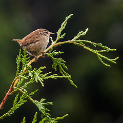 Wren On Lookout (Phil Benton Photography.) Tags: green bird nature branch little wren