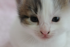 (KerryHanlon) Tags: life cats baby brown white black youth start cat nose eyes kitten feline babies tabby young kittens whiskers beginning felines tabbie