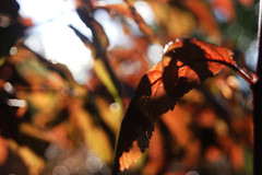 Leaves 013 (Ethan Sztuhar) Tags: red sun blur leaves closeup focus warm close bokeh sony a33 alpha
