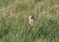 Short-eared Owl (Tickspics) Tags: uk dorset shortearedowl asioflammeus wykedown sixpennyhandley