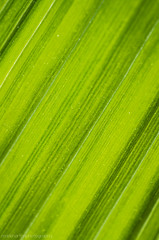 50 shades of green (ish) (markhortonphotography) Tags: abstract macro green canon stripes shades surrey 100mm 7d pollen tones crocosmia f28 deepcut surreyheath monbretia eos7d