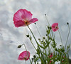 Poppies (Bessula) Tags: summer sky flower nature garden poppies flickrdiamond bessula bestcapturesaoi coth5 magicunicornmasterpiece