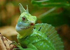 Lizardly Look (DGS Photography) Tags: green oklahoma lizard tulsa jesuslizard tulsazoo basilisk basiliscusplumifrons specanimal greenbasilisklizard