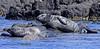 IMG Grey Seals (Olive Taylor. Thank you for your visit.) Tags: sea nature canon mammal islands rocks northumberland coastal greyseal seahouses northeastengland farnislands innerfarn