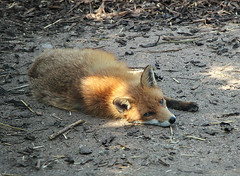 Foxy Taking a nap (Explored) (Bogger3.) Tags: fox coth supershot canon600 sunrays5