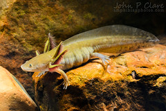 Barred Tiger Salamander (Ambystoma mavortium mavortium)