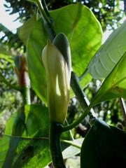 Babal (Nelindah) Tags: jackfruit nangka langka moraceae babal geo:country=indonesia kembangnangka nelindah benqac100 artocarpusmaximus