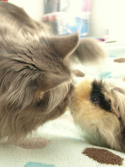 Kitty Piggie Love, Breeze and Griff, 31 Aug 13 (Castaway in Scotland) Tags: blue pet cute animal cat silver grey scotland guinea pig cavy rodent tabby maine adorable kitty olympus east coon lothian musselburgh e410