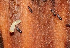 rove beetles hunt larva? (gbohne) Tags: macro canon insect flash beetle insects beetles insekt animalia arthropoda larva insekten kfer unidentified coleoptera larve insecta rovebeetles pterygota neoptera kurzflgler geo:country=germany taxonomy:order=coleoptera taxonomy:phylum=arthropoda taxonomy:subclass=pterygota taxonomy:suborder=polyphaga taxonomy:family=staphylinidae taxonomy:superfamily=staphylinoidea 100mmf28canon taxonomy:infraclass=neoptera taxonomy:subphylum=hexapoda geo:region=europe taxonomy:infraorder=staphyliniformia