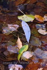 Decaying Leaves 3, Utah (Vern Krutein) Tags: plants lake nature water rotting leaves utah leaf pond flora decay peaceful vegetation zionnationalpark plantae twigs placid bucolic photoautotroph