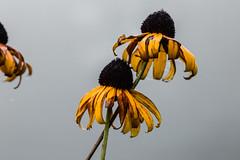 Black Eyed Susans 1.jpg (elektratig) Tags: flowers flower newjersey stillwater blackeyedsusans blackeyedsusan sussexcounty