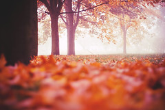 golden season (yoostynaa) Tags: park autumn mist tree fall leaves yellow fog 50mm golden leaf dof bokeh poland falling nikond80