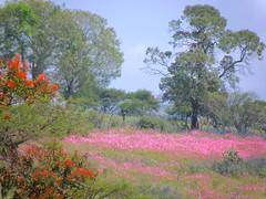 PA063908 (daviddontdance) Tags: sanfrancisco pink flower de mexico jalisco sierra quila 2013 sierradequila