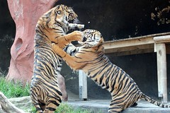 18-10-2013-taronga 258 (tdierikx) Tags: tiger taronga tarongazoo 18102013taronga tdierikx