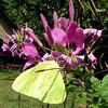 One last kiss (gailpiland) Tags: pink nature yellow butterfly photo sulphur photosandcalendar natureandpeople natureselegantshots panoramafotográfico faunayfloradelmundo gailpiland theoriginalgoldseal