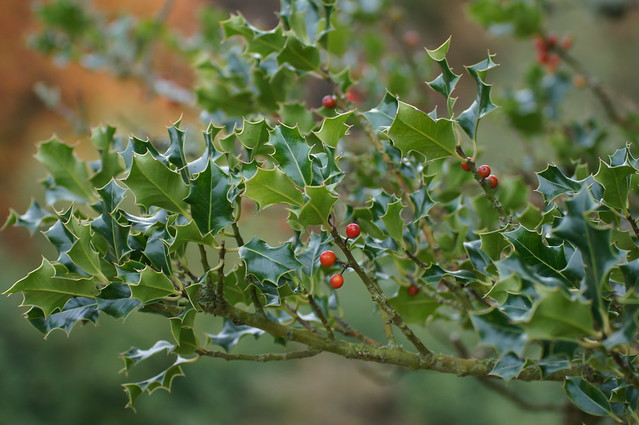 Holly at Stourhead