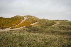Sanddorn (Raphs) Tags: autumn fall beach grass lines yellow denmark sand dunes balticsea shore paths danmark canoneos350d gettyimages tisvildeleje raphs seabuckthorn hippophaerhamnoides tamronspaf1750mmf28xrdiiildaspherical melbystrand commonseabuckthorn
